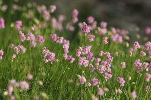 Ail à fleurs de narcisses